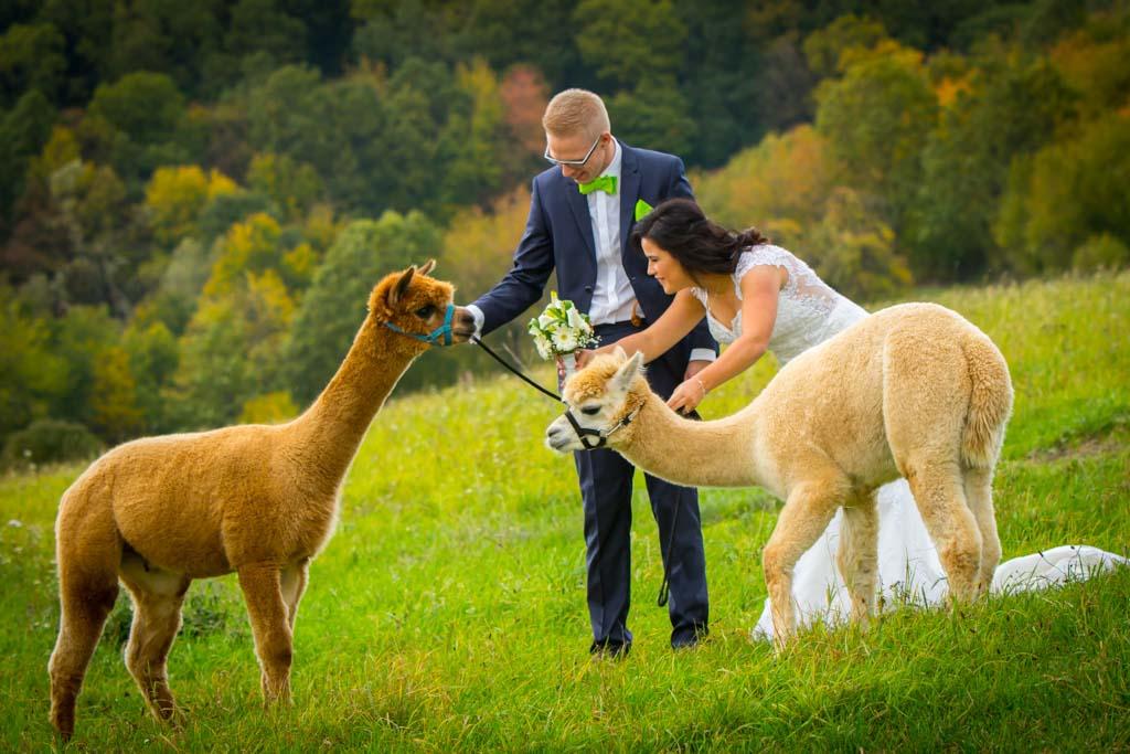 Hochzeitsinspiration mit Brautpaar und Alpakas - Hochzeitsfotograf dc photodesign